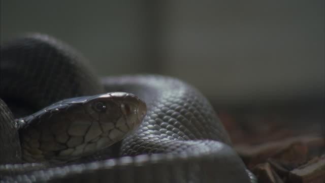 A Black Mamba flicks its tongue out to test the air.