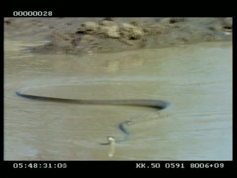 MS Black mamba swims across waterhole & comes out this side