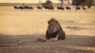 Black maned African Lion