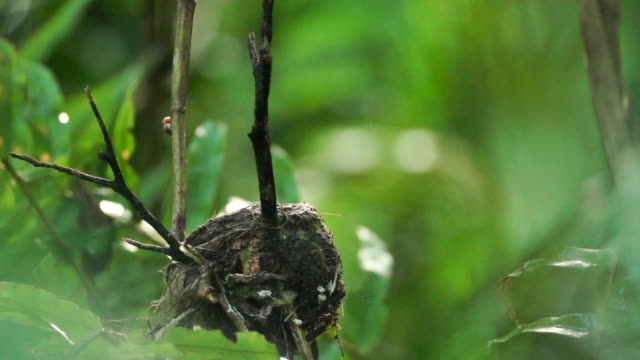 Black monarch flycatcher arrives at nest, enters right frame, high speed