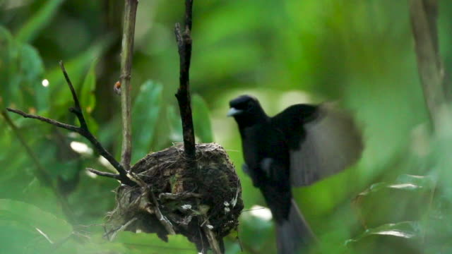 Black monarch flycatcher lands at nest site, high speed