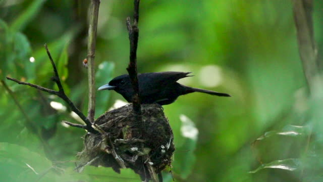 Black monarch flycatcher settles into rainforest nest, high speed