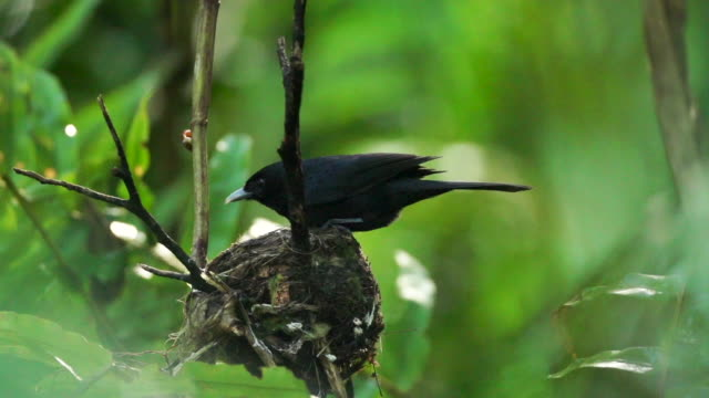 Black monarch flycatcher standing on nest, flies away, high speed