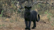 Black panther walks through forest Available in HD.