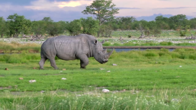 Black  Rhino in Africa