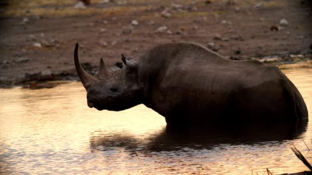MS Black rhinoceros drinking water in savannah / Namibia