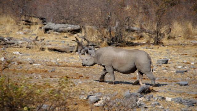 MS TS Black Rhinoceros walking in savannah / Namibia