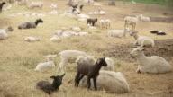 Black sheep in white herd