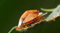 Black spotted orange tortoise beetle