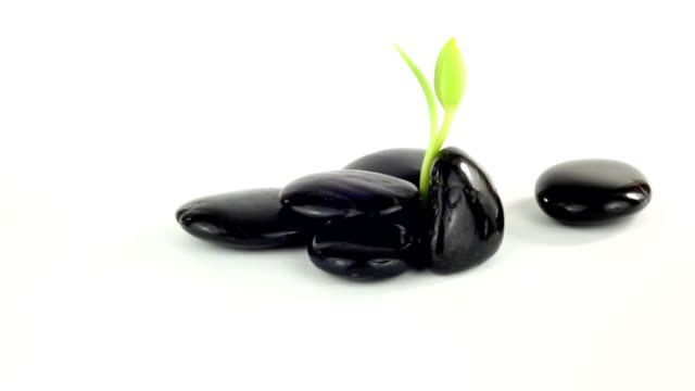 Black Stones and young plant