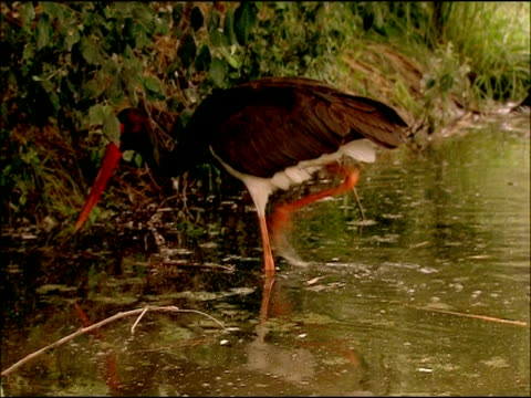 Black Stork (Ciconia nigra) catching fish, Parque Natural Sierras de Cardena y Montoro, Andalusia, Southern Spain