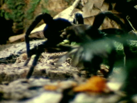 Black Tarantula spider carrying dead bird over forest floor *LA ECU Black Tarantula spider standing over dead bird on forest floor pushing mouth...