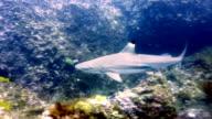 Black Tip Reef Shark (Carcharhinus melanopterus) swimming close up on coral reef, Phi Phi Islands, Andaman Sea, Thailand.