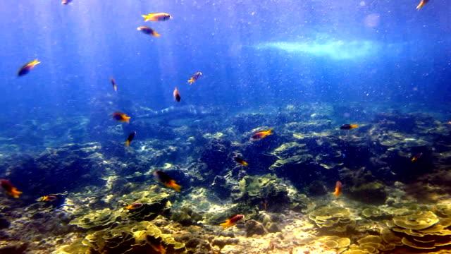 Svart spets revhaj (Carcharhinus melanopterus) simning närbild på korallrev, Phi Phi-öarna, Andamansjön, Thailand.