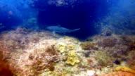 Black Tip Reef Sharks (Carcharhinus melanopterus) swimming close up on coral reef, Phi Phi Islands, Andaman Sea, Thailand.