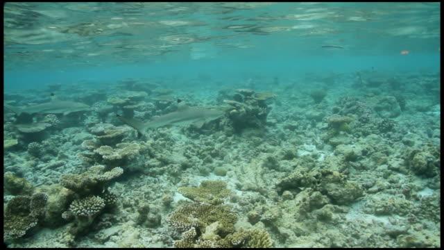 Black Tip sharks swimming over diverse coral