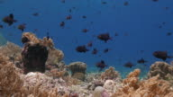 Black triggerfish schooling in reef, Coral Triangle