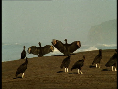 Black vultures on beach hold wings outstretched, Ostional, Costa Rica