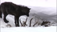 Black wolf (Canis lupus) feeds on elk carcass in snow, Yellowstone, USA