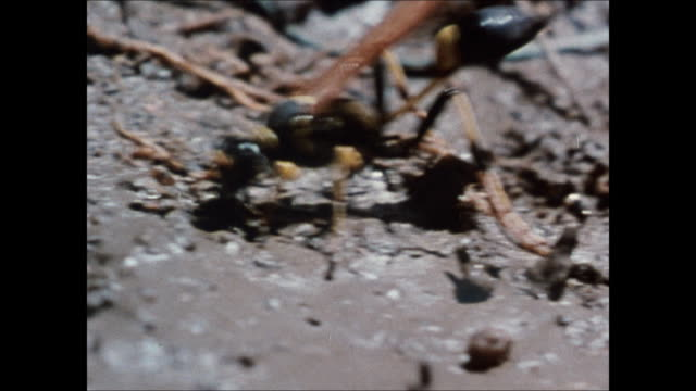 CU Black yellow wasp grabbing chunks of mud w/ mandibles CU Honeybee bee w/ head inside chamber by wax CU TRACKING Yellow jacket wasp back over nest...