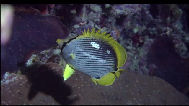Blackback Butterfly Fish swims above coral, Mount Chokaisan, Yamagata, Japan, Diving Shot