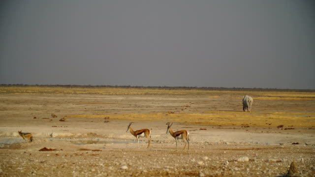 WS Black-backed jackal drinking at water hole; African elephant in background in savannah / Namibia