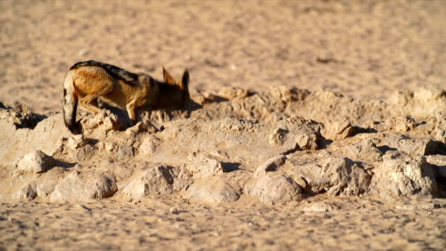 MS Black-backed jackal drinking from water hole in savannah / Namibia