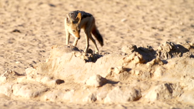 MS PAN Black-backed jackal drinking from water hole in savannah / Namibia
