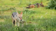 Black-backed Jackal eating grass,  Kgalagadi Transfrontier Park, South Africa
