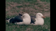 Blackbacked seagulls pair sitting side by side resting on grass VS Three spotted chicks standing in ground nest MS Parent regurgitating for chicks FG...