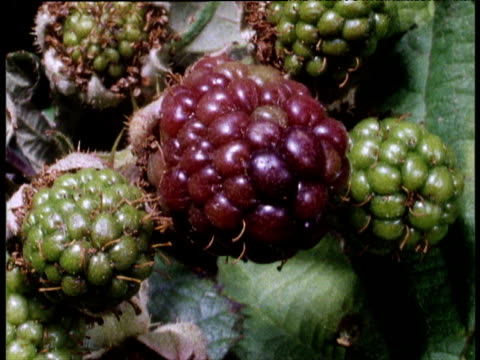 Blackberries ripen in succession from green to black