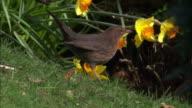 Blackbird (Turdus merula) and daffodil flowers in park, Scotland, UK