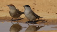 Blackcap (Sylvia atricapilla)  female and  male drink water from a waterpool  in the desert
