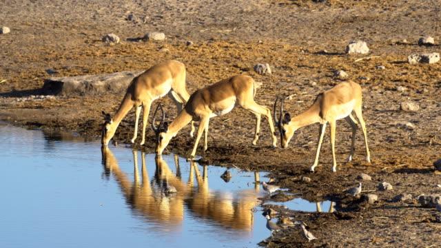 Black-faced Impala in Etosha, Namibia