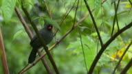 Black-fronted nunbird perched in rainforest trees