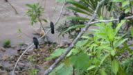 Black-fronted nunbirds perched along an Amazonian riverbank