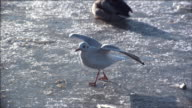 Black-headed Gull (Chroicocephalus ridibundus) takes off from ice