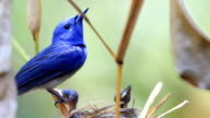 Black-naped Monarch or Black-naped Blue Flycatcher keep guarding his chicks with love