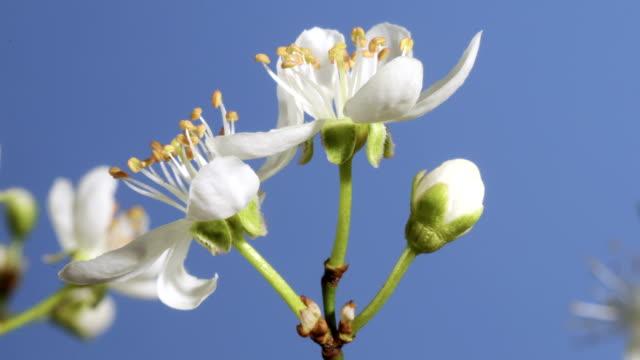 Blackthorn flowering, timelapse