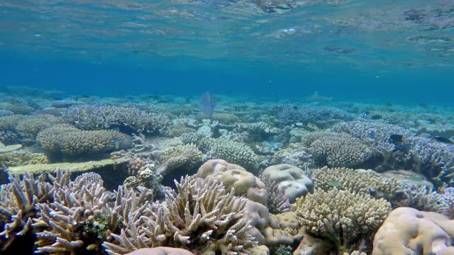 Blacktip reef shark on coral reef - Maldives