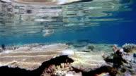 Schwarzspitzenriffhai über tropischen Korallenriff-Maldives