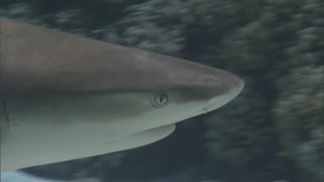 Blacktip reef shark (Carcharhinus melanopterus) swims on coral reef, French Polynesia