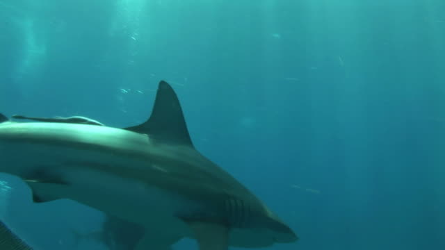 Blacktip reef sharks (Carcharhinus melanopterus) occasionally in attack posture near divers. Aliwal Shoal, South Africa