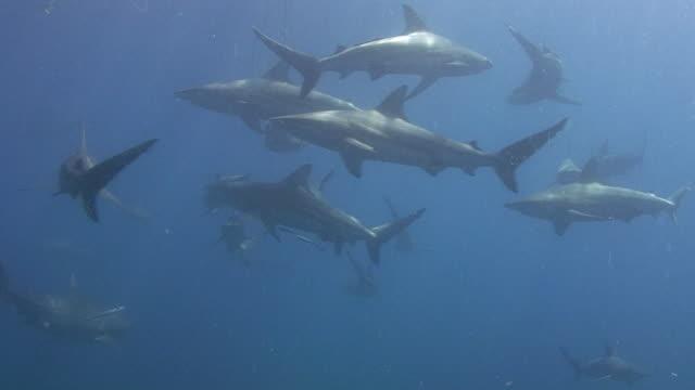 Schwarzspitzen Shark (Carcharhinus limbatus