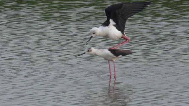 Black-winged Stilt bird are breeding in the swamp