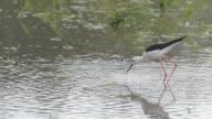 Black-winged Stilt bird feeding.