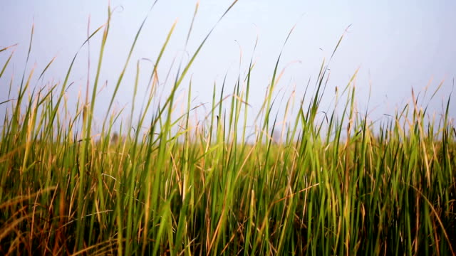 Blades of grass swaying though wind