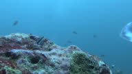 blennie (family Blenniidae)in rock,  Manta (Manta biristris)passes by, Indian Ocean, Maldives