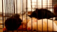 Blind baby rats in cage in street market