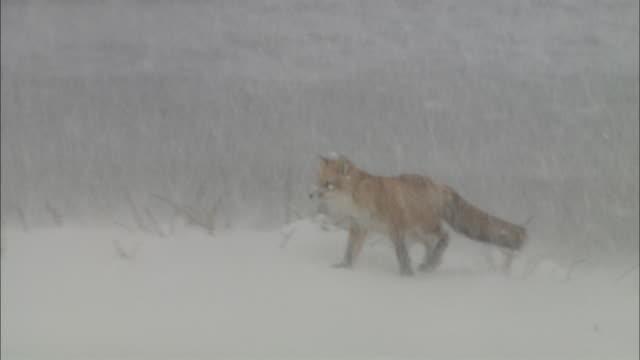 Blizzard at Sarobestu Plain in Hokkaido